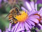 Včela medonosná II